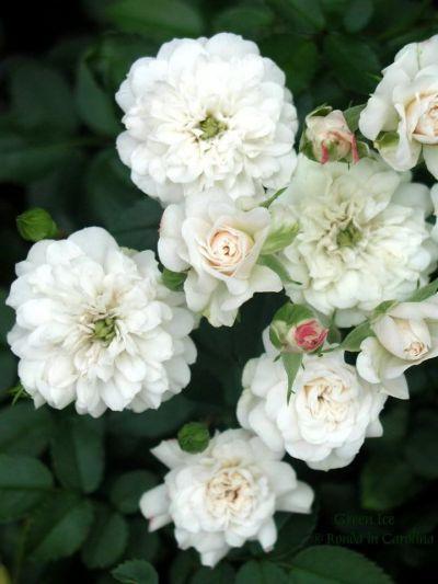 Троянда Грін Айс (Green Ice) Грунтопокривні, Moore США, 1971