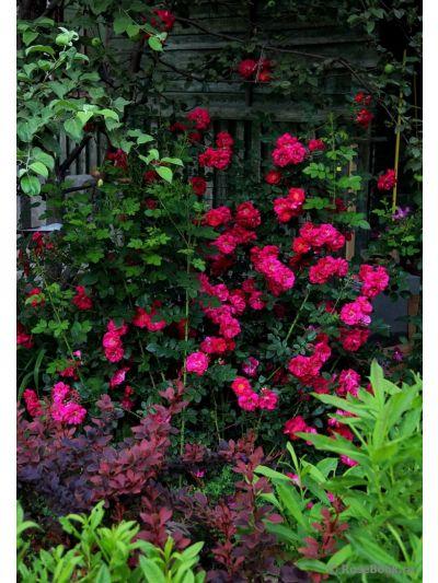 Троянда Генрі Келсі (Henry Kelsey) Плетисті, Svejda Канада, 1984