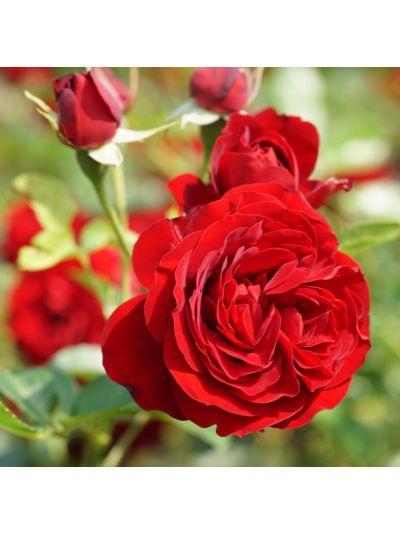 Троянда Роуз Броулі (Rose Brouilly ®) Шраби, Guillot Франція, 2011