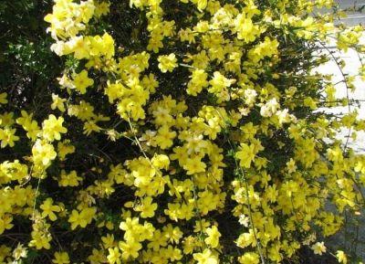 Жасмин Голоквітковий (Jasminum nudiflorum)