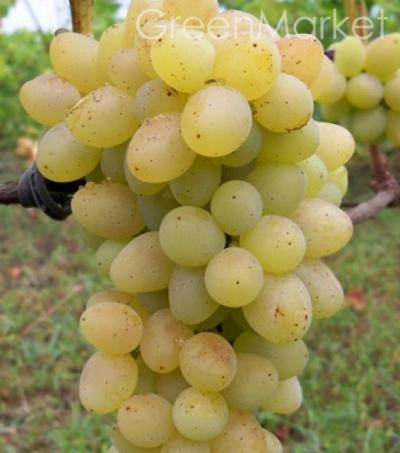 Виноград Плевен мускатний