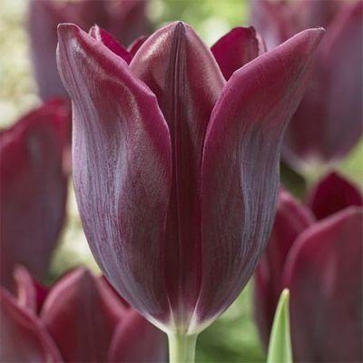 Тюльпан Havran