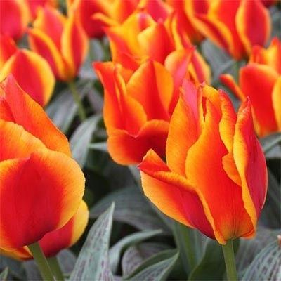 Тюльпан United States
