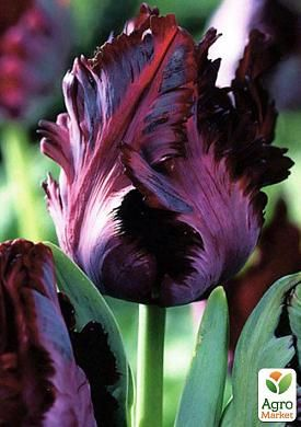 Тюльпан Black Parrot