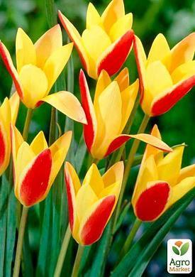 Тюльпан Clusiana Cynthia