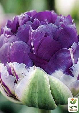 Тюльпан Peony Purple