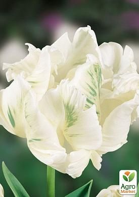 Тюльпан White Parrot