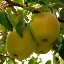 Яблуня Кальвий Сніговий