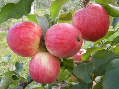 Яблуня Цукеркова