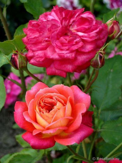 Роза Мидсаммер (Midsummer} Флорибунда, Tantau Германия, 2007