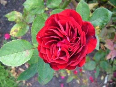 Троянда Надія Ренесанс (Nadia Renaissance) Шраби, Poulsen Данія, 2002