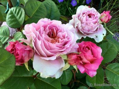 Троянда Айсфогель (Eisvogel) Чайно-гібридні, Tantau Німеччина, 2016