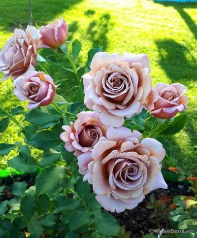 Троянда Коко-Локо (Koko Loko) Флорибунда, Bedard США 2010