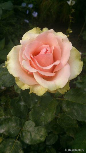 Троянда Дансинг Куїн (Dancing Queen) Чайно-гібридні, Tantau Німеччина