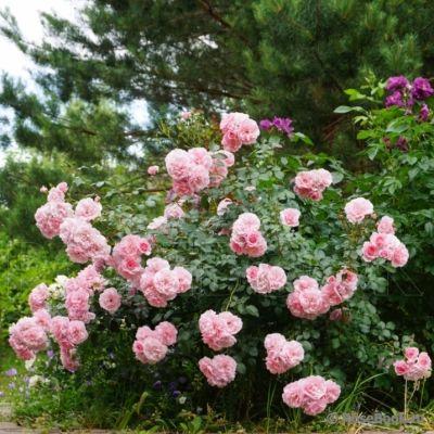 Троянда Боніка (Bonica) Штамб, Meilland Франція, 1985