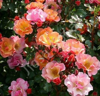 Троянда Джаз (Jazzz) Флорибунда, Tantau Німеччина, 2003