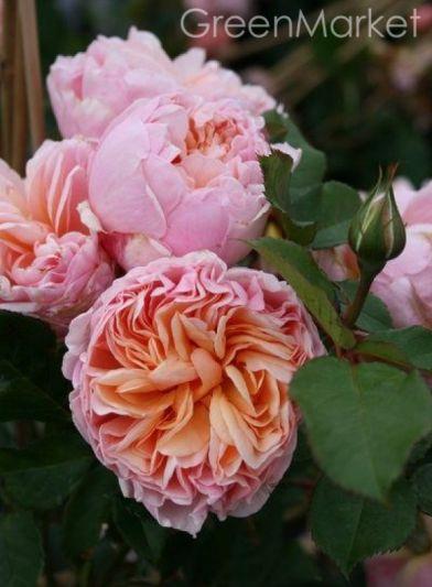 Троянда Александрін (Alexandrine) Чайно-гібридні, Meilland Франція 2009