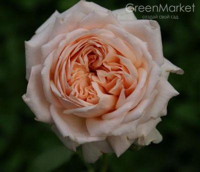 Троянда Антико Аморе (Antico Amore) Чайно-гібридні, Barni Італія, 1988