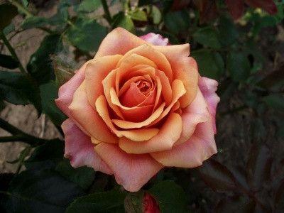 Троянда Черрі Бренді (Cherry Brandy) Чайно-гібридні, Tantau Німеччина, 2004