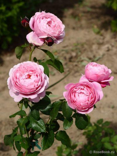 Троянда Дітер Мюллер (Dieter Muller) Шраби, Delbard Франція, 2004