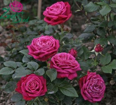 Троянда Дуфтрауш (Duftrausch) Чайно-гібридні, Tantau Німеччина, 1985