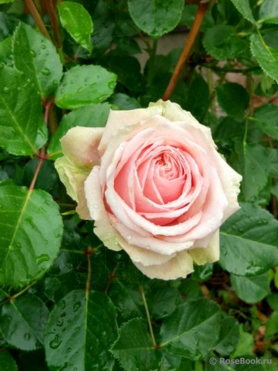 Троянда Еден Роуз ( Eden Roses) Плетисті, Meilland Франція, 1950