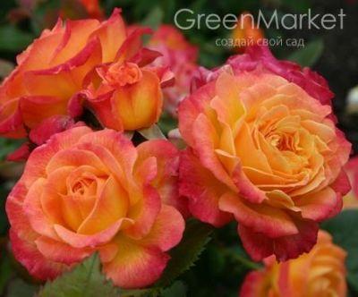 Троянда Гарденспасс (Gartenspass) Флорибунда, Kordes Німеччина, 2001