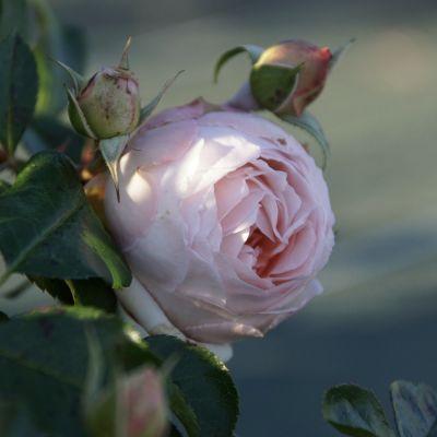 Троянда Шанталь Томас (Chantal Thomass®) Мініатюрні, Guillot Франція, 2010