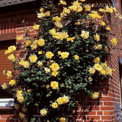 Троянда Голден Шоверс (Golden Showers) Плетисті, Lammerts США, 1956