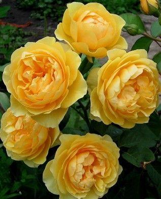 Троянда Грехем Томас (Graham Thomas) Англійські, Austin Великобританія, 1983
