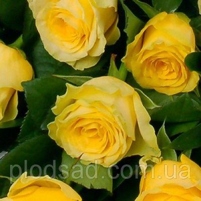 Троянда Іліос (Ilios) Чайно-гібридні, Schreurs Нідерланди