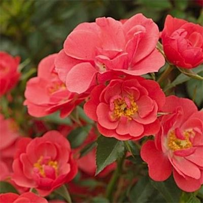 Троянда Кірш Кавер (Kirsch Cover) Флорибунда, Poulsen Данія, 2004