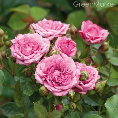 Троянда Лавендер Джуел (Lavender Jewel) Мініатюрні, Moore США, 1978