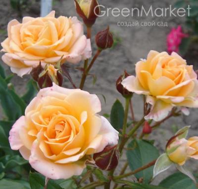 Троянда Макарена (Macarena) Спреї, Interplant Нідерланди