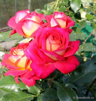 Троянда Мідсаммер (Midsummer) Флорибунда, Tantau Німеччина, 2007
