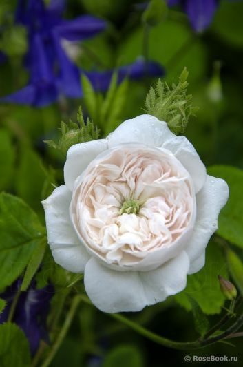 Троянда Мадам Арді (Madame Hardy) Шраби, Hardy Франція, 1832
