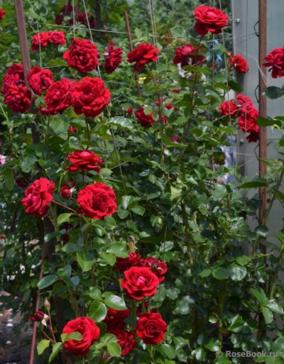 Троянда Найхелглут (Nahelglut) Плетисті, Poulsen Данія, 1997