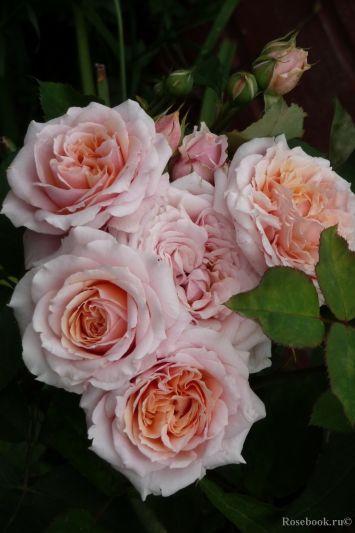 Троянда Поль Бокуз (Paul Bocuse) Гійо, Massad Франція, 1992