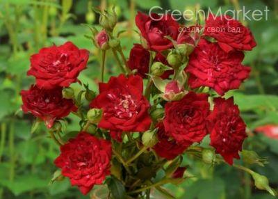 Троянда Ред Каскад (Red Cascade) Мініатюрні, Moore США, 1976