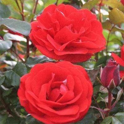 Роза Ремембранс (Remembrance} Флорибунда, Harkness Великобритания, 1992
