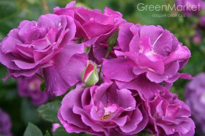 Троянда рапсодія Ін Блу (Rhapsody in Blue) Шраби, Warner Великобританія, 2002
