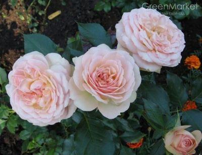 Троянда Пастелла (Pastella) Флорибунда, Tantau Німеччина, 2004