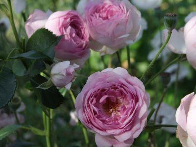 Троянда Весаліус (Vesalius) Флорибунда, Martin Vissers Бельгія, 2012