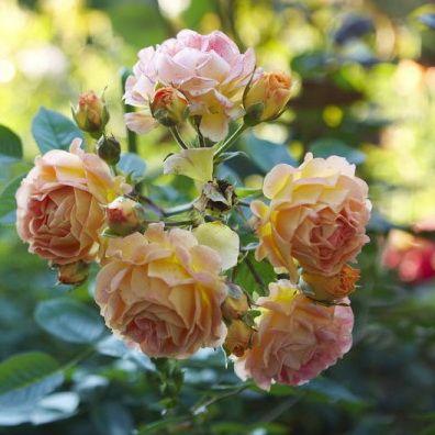 Троянда Бессі (Bessy) Грунтопокривні, Interplant Нідерланди, 1997