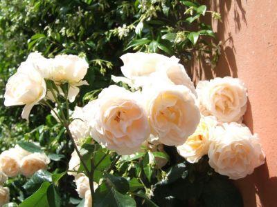 Троянда Санс Сусі (Sans Souci) Флорибунда, Barni Італія, 1995