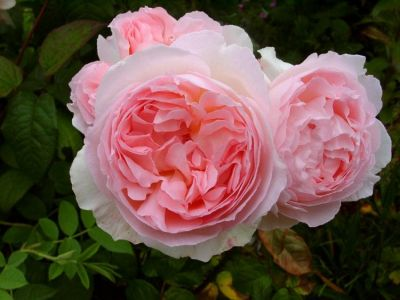 Троянда Шаріфа Астма (Sharifa Asma) Англійські, Austin Великобританія, 1989