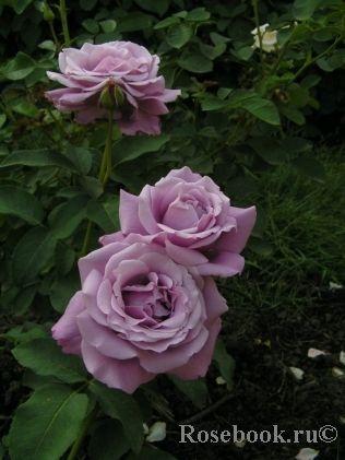 Троянда Шарль де Голь (Charles De Gaulle) Чайно-гібридні, Meilland Франція, 1975