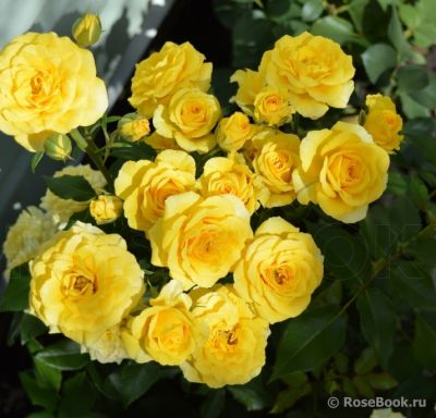 Троянда Сан-Сіті (Sun City) Спреї, Interplant Нідерланди