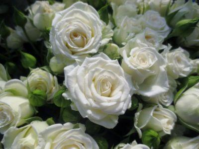 Троянда Уайт Лідія (White Lydia) Спреї, G Peter Ilsink Нідерланди, 1996