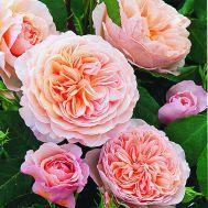 Троянда Вільям Морріс (William Morris) Англійські, Austin Великобританія, 1998